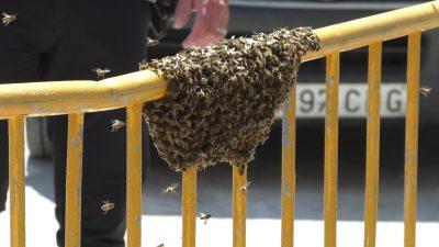 Un enjambre de abejas deja una imagen insólita en Bigastro