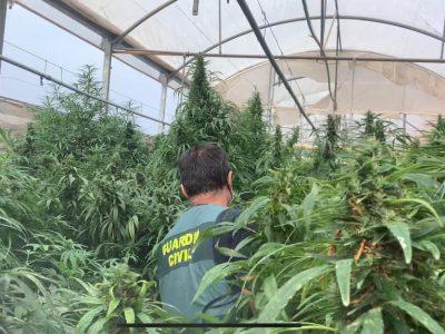 Detectan 8 plantaciones de marihuana que se hacían pasar por empresas de cáñamo industrial